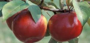 apples on vine